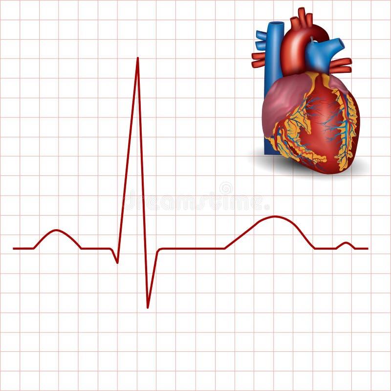 Human heart normal rhythm and heart anatomy stock illustration