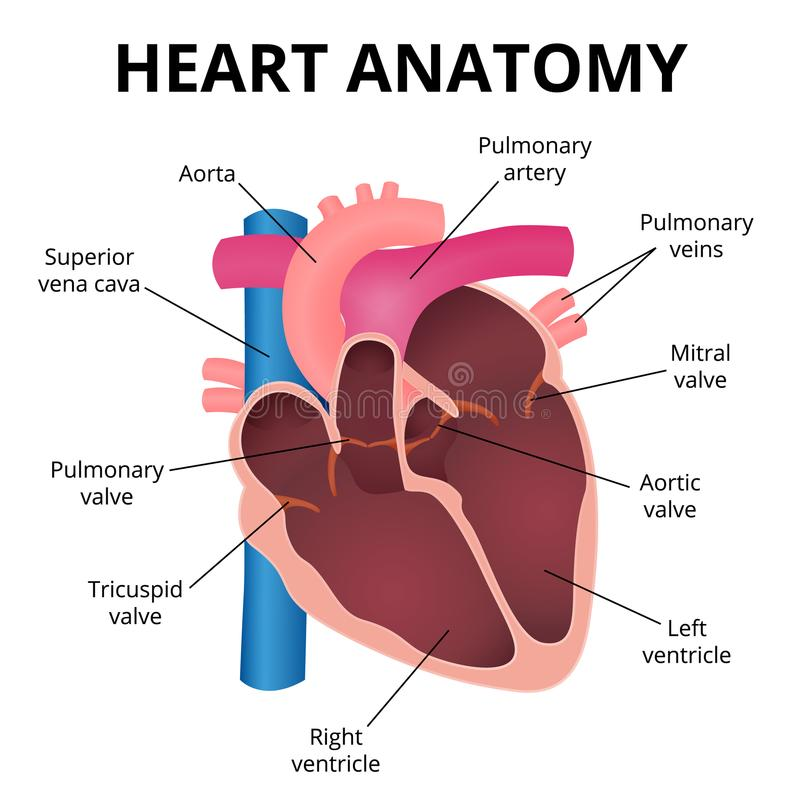 Anatomy of the human heart stock vector. Illustration of attack ...
