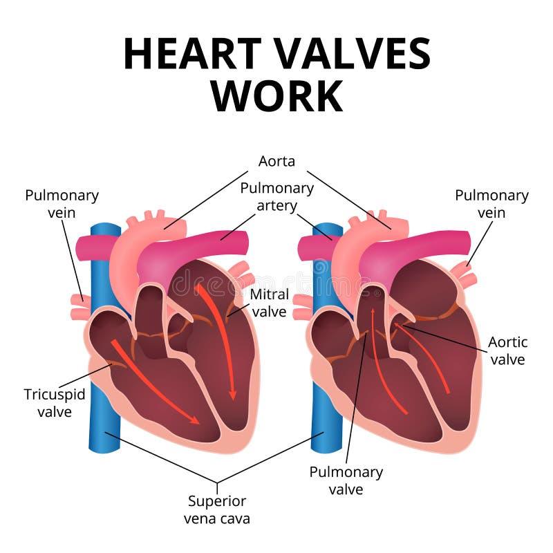 Anatomy of the human heart stock vector. Illustration of bile ...