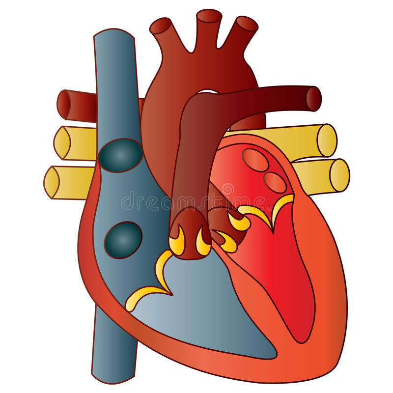 Human Heart. Simple illustration of Human Heart stock illustration