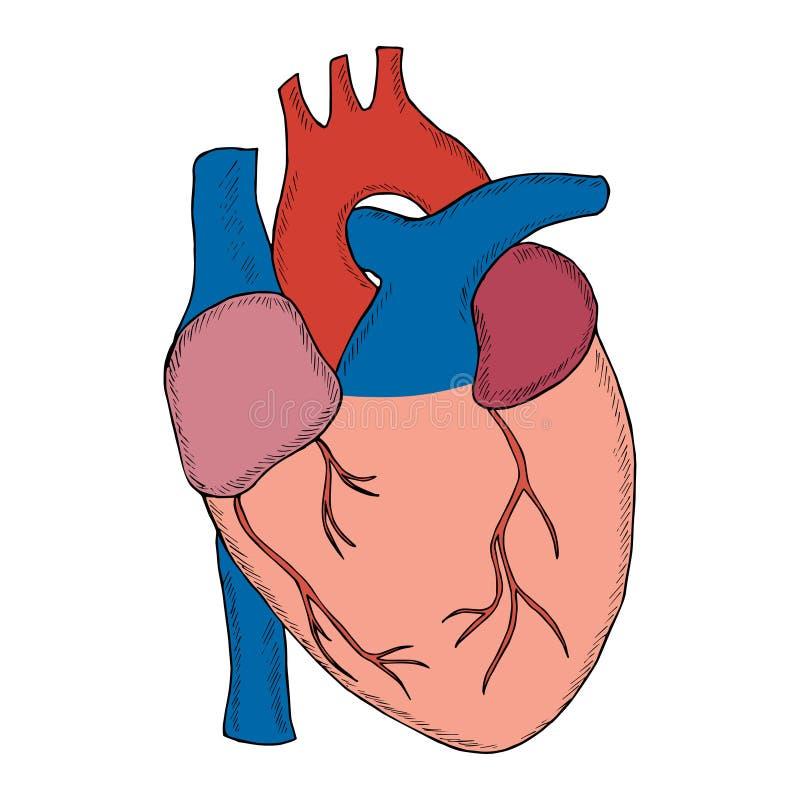 Human heart sketch liner in color stock illustration