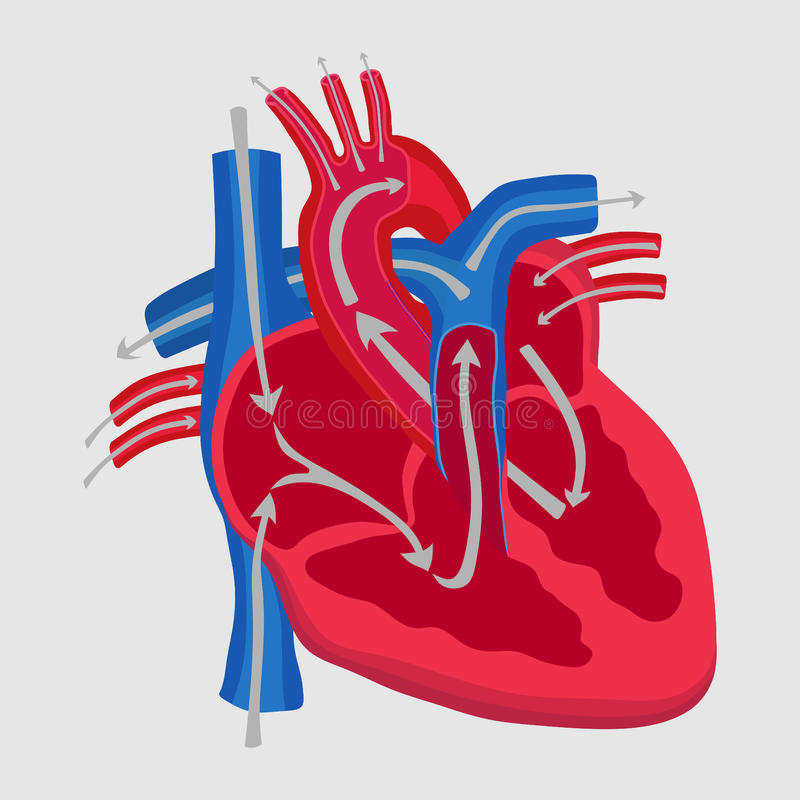 The human heart, the study of anatomy, the path of blood flow in vector illustration