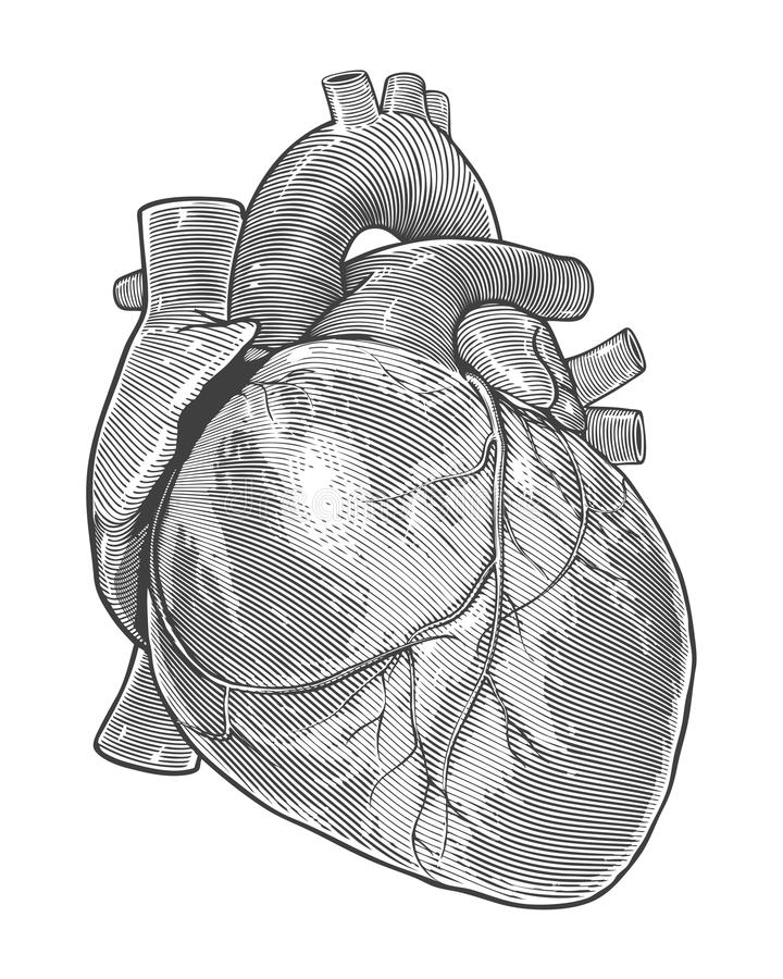 Human heart in vintage engraving style stock illustration