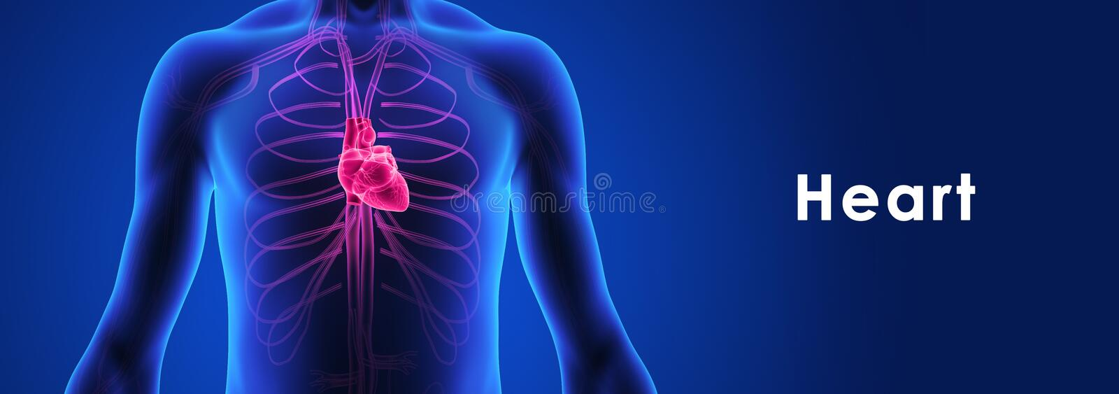 Human Heart vector illustration