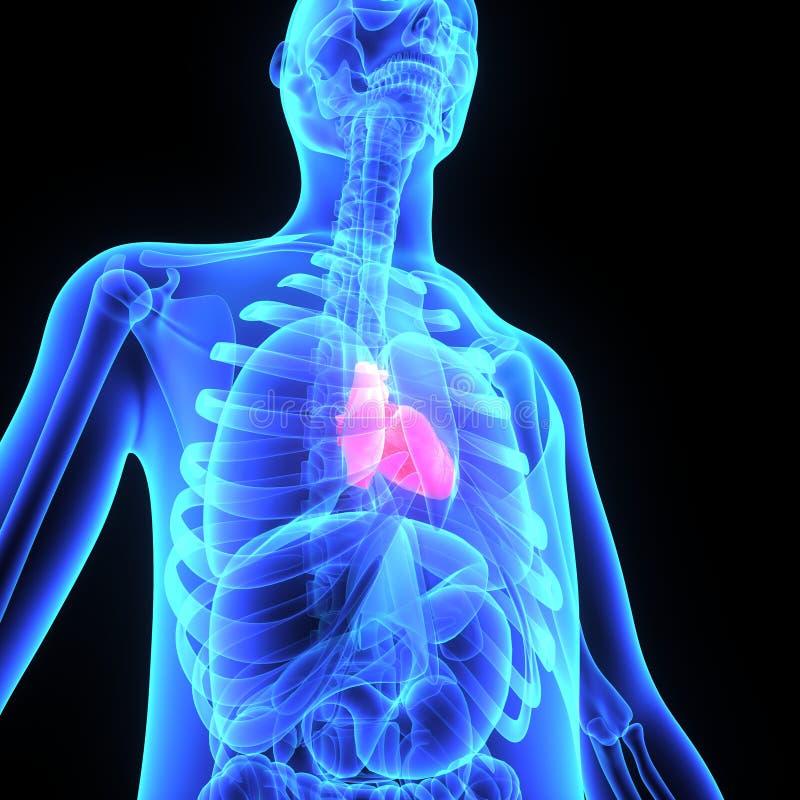Human heart stock illustration illustration of organ 48739384 download human heart stock illustration illustration of organ 48739384 ccuart Images