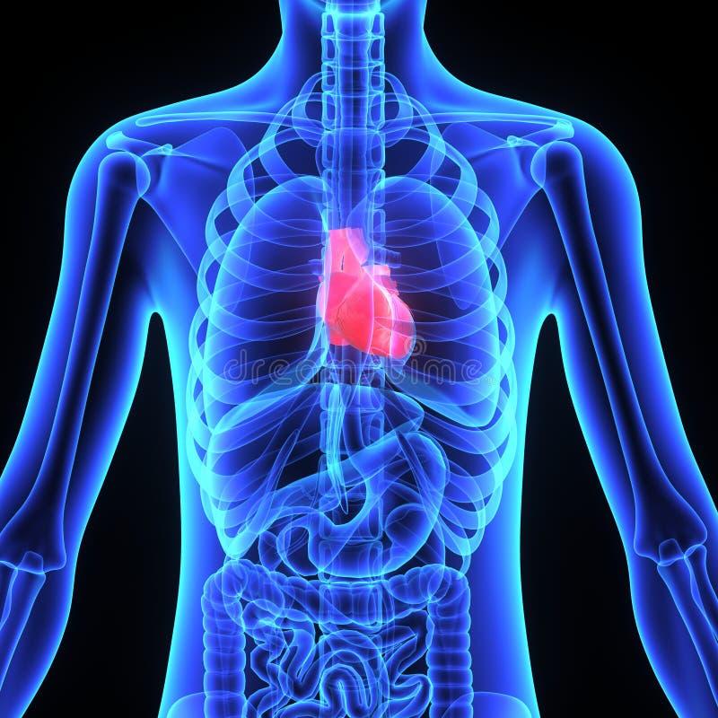 Human heart stock illustration illustration of medicine 48739621 download human heart stock illustration illustration of medicine 48739621 ccuart Images