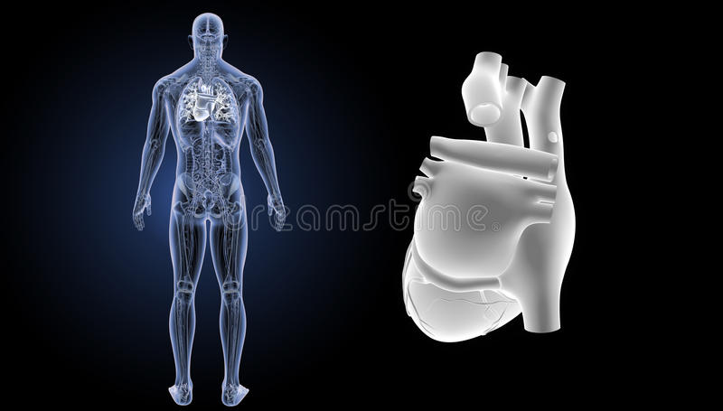 Human heart zoom with anatomy posterior view stock image image of download human heart zoom with anatomy posterior view stock image image of cavity carotid ccuart Choice Image