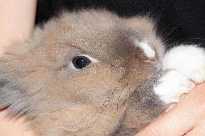 Human holds in his hand a beautiful fluffy light brown Dutch dwarf rabbit. Easter bunny royalty free stock photos