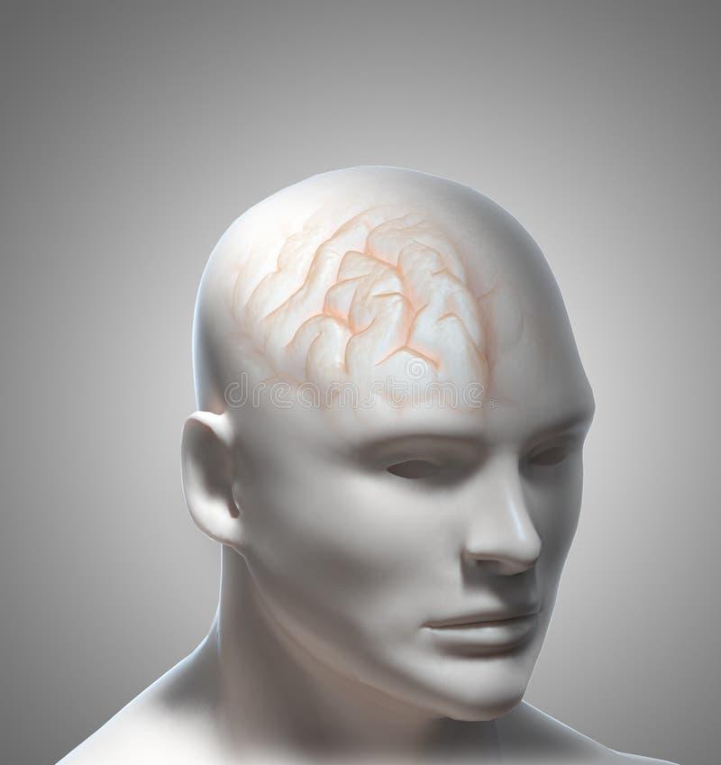Download Human Intelligence stock illustration. Image of cerebellum - 23258302