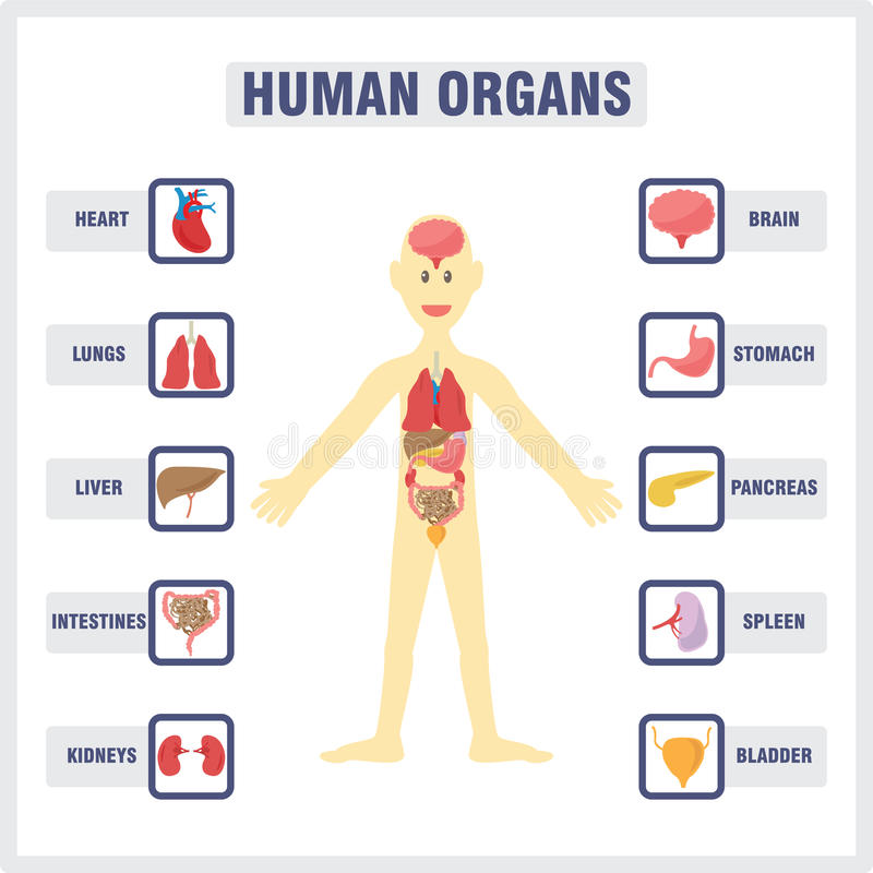 Human Internal Organs royalty free illustration