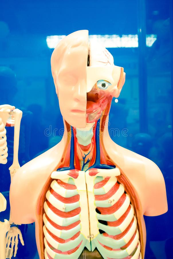 Human internal organs dummy, training dummy, detail of the face. Thorax and intestines. Healthcare concept. Human anatomy royalty free stock photo