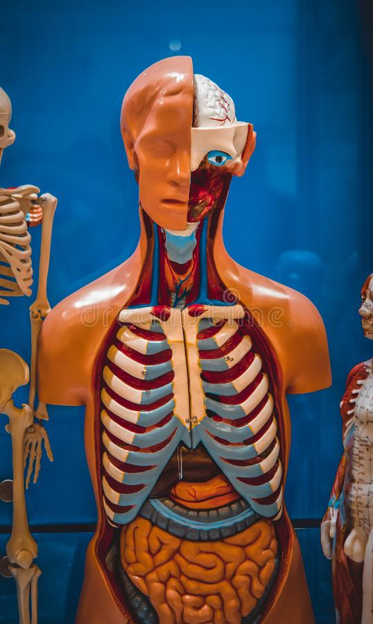 Human internal organs dummy, training dummy, detail of the face. Thorax and intestines. Healthcare concept. Human anatomy stock image