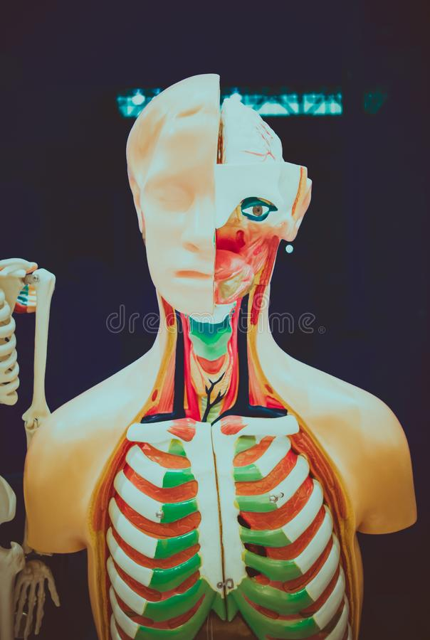 Human organs dummy. Human internal organs dummy, training dummy, detail of the face, thorax and intestines. Healthcare concept. Human anatomy royalty free stock photos