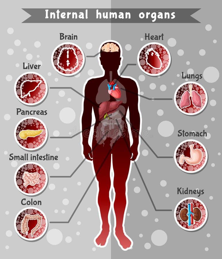 Human Internal Organs Template Stock Vector Illustration Of Health