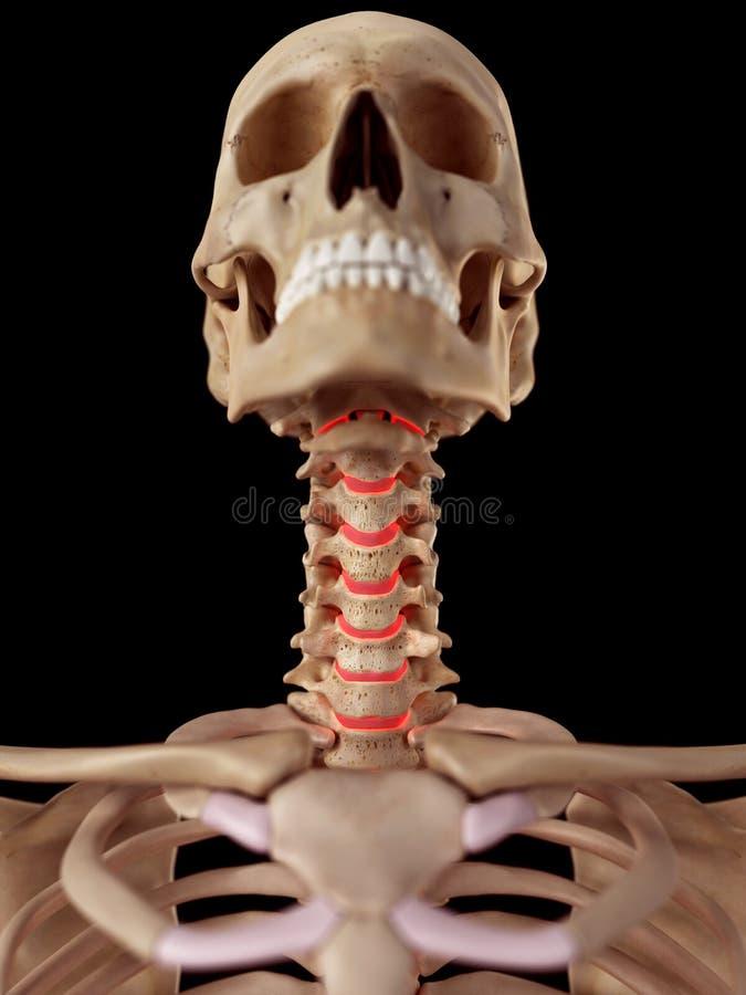 The human intervertebral discs. Medical accurate illustration of the the human intervertebral discs royalty free illustration