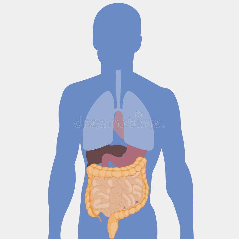 Human intestines, detailed medical illustration stock illustration