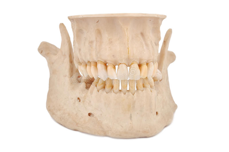 Human jaw royalty free stock image
