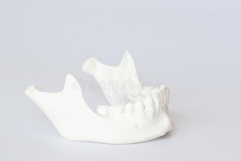 Human jaw bone model on white background. Side view of human artificial jaw bone or mandible model on white background royalty free stock image