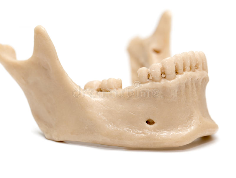 Human jaw on a white background. A photo stock images