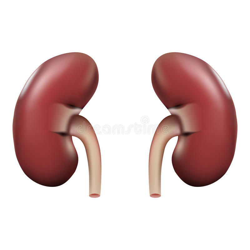Human Kidney Anatomy Isolated On A White Background. Realistic Vector Illustration. stock illustration