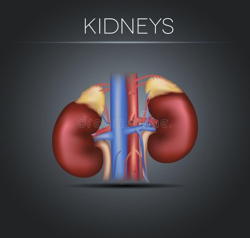 Human kidneys on a black gradient background royalty free illustration