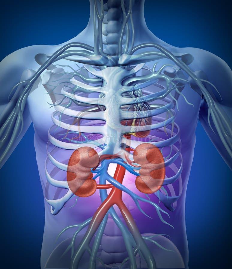 Human Kidneys With Skeleton royalty free illustration