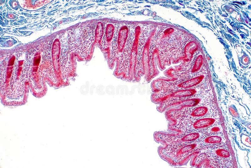 Human large intestine tissue under microscope view vector illustration