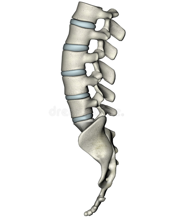 Human lateral lumbosacral spine vector illustration