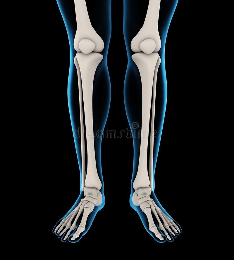 Human Leg Bones Anatomy vector illustration