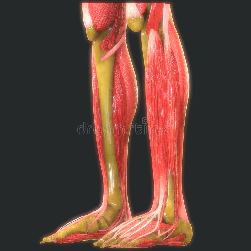 Human Leg Joints With Muscles Anatomy royalty free illustration