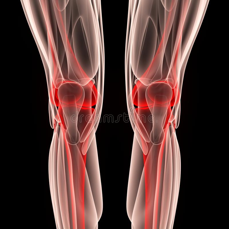 Human Leg Joints with Muscles. 3D Illustration of Human Leg Joints with Muscles royalty free illustration