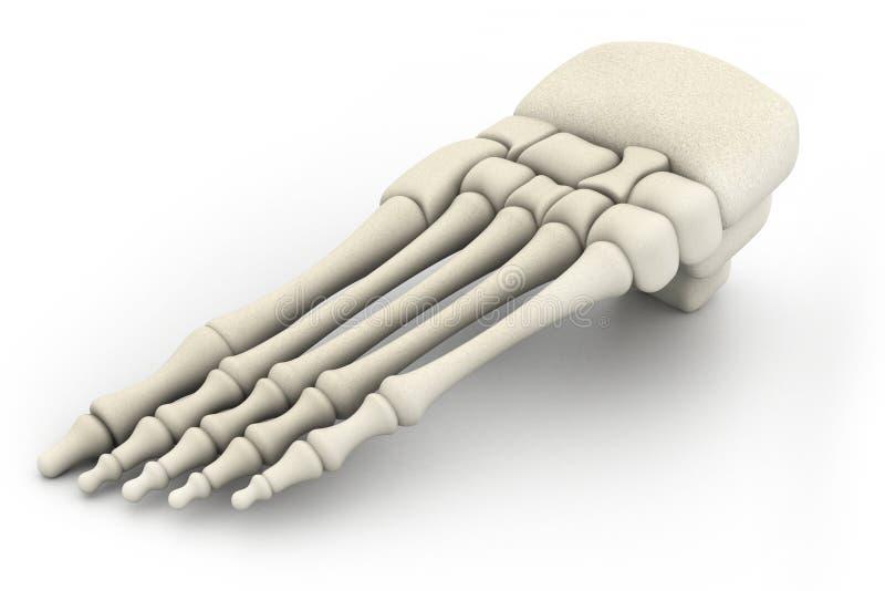 Human leg skeleton. 3d render of human leg skeleton royalty free illustration