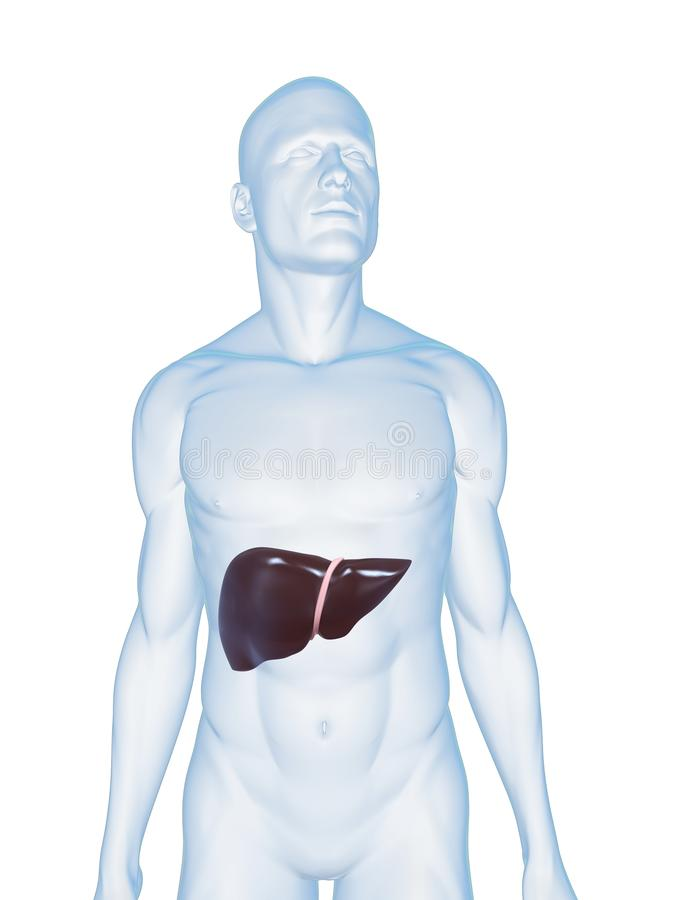 Human liver stock photos