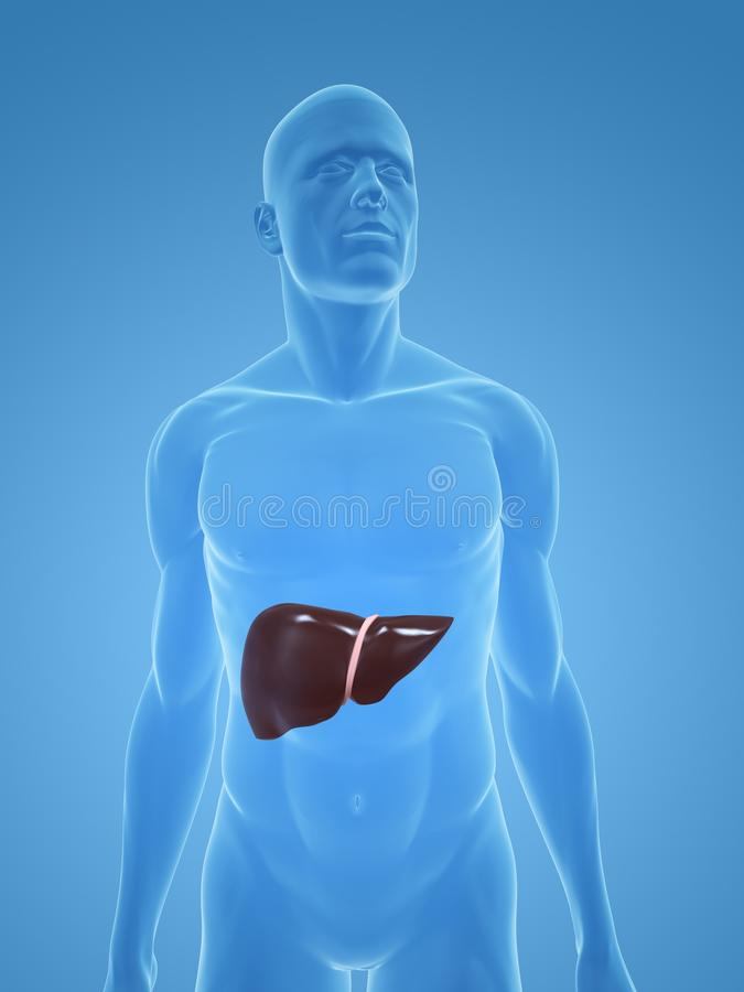 Human liver royalty free stock photo