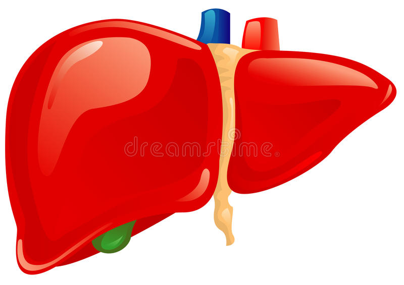 Human liver. On a white background vector illustration