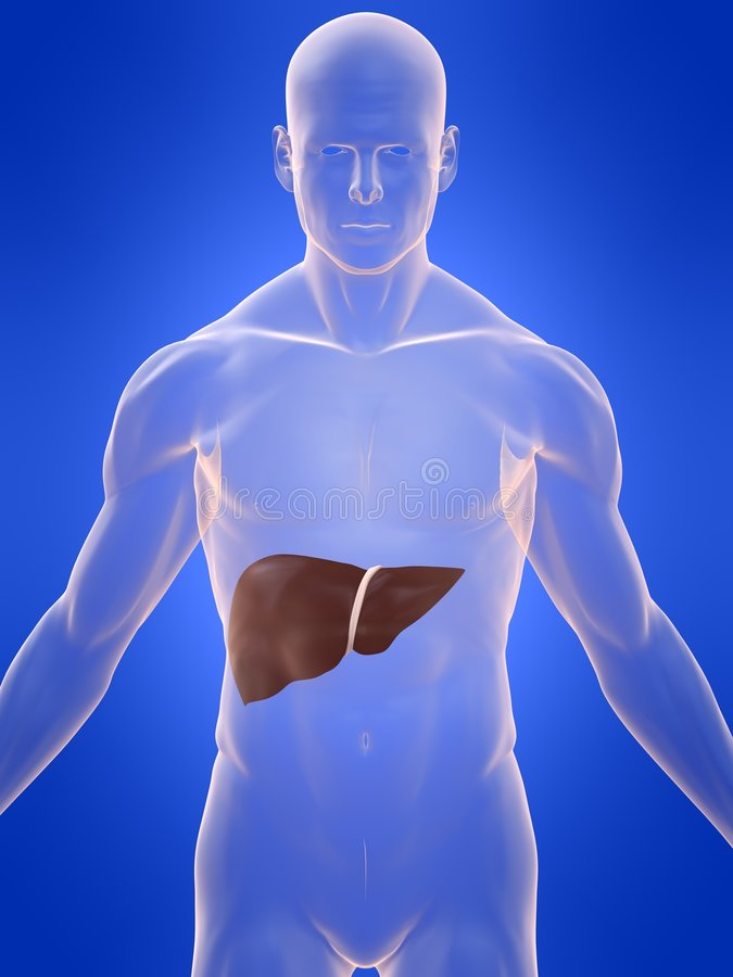 Human liver royalty free stock photos