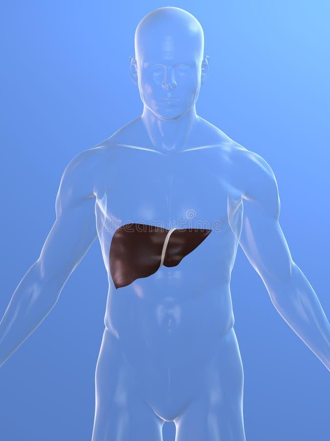 Human liver stock illustration