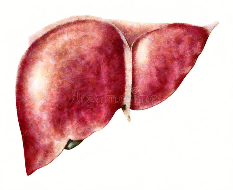 Human liver anatomy illustration. Human liver and gallbladder anatomy - an illustration, drawing, painting, sketch. Liver, gallbladder and pancreas are the stock illustration
