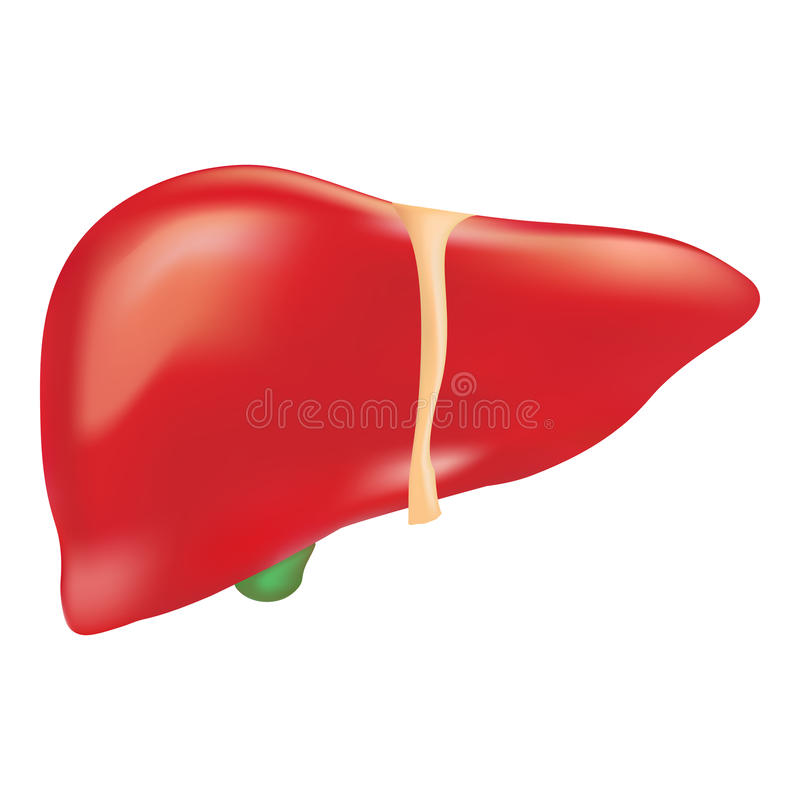 Human Liver Anatomy Isolated On A White Background. Realistic Vector Illustration. royalty free illustration