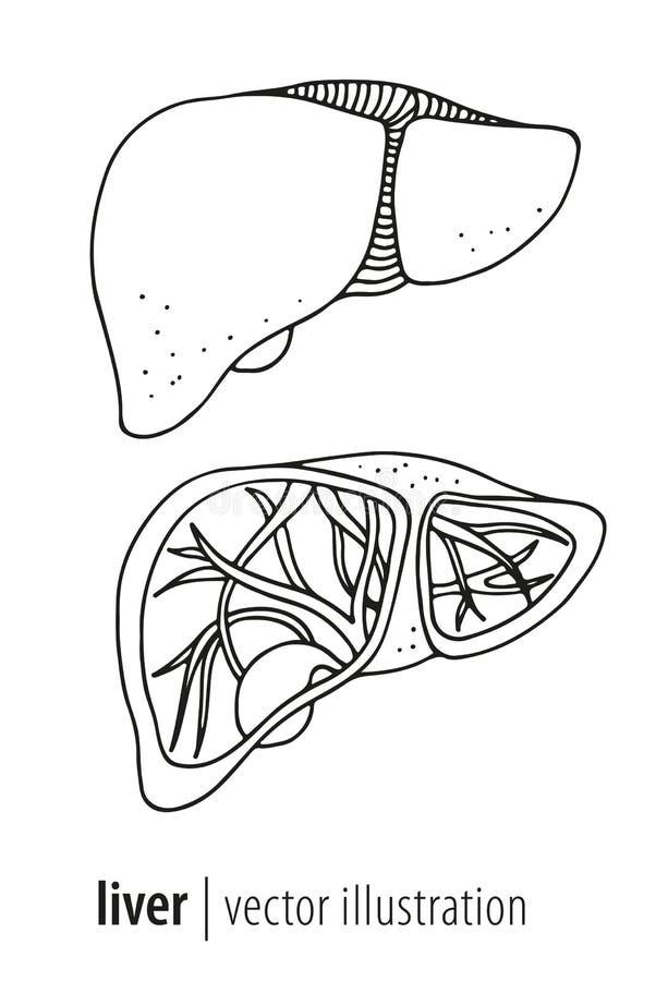 Human liver and gallbladder anatomy illustration stock illustration