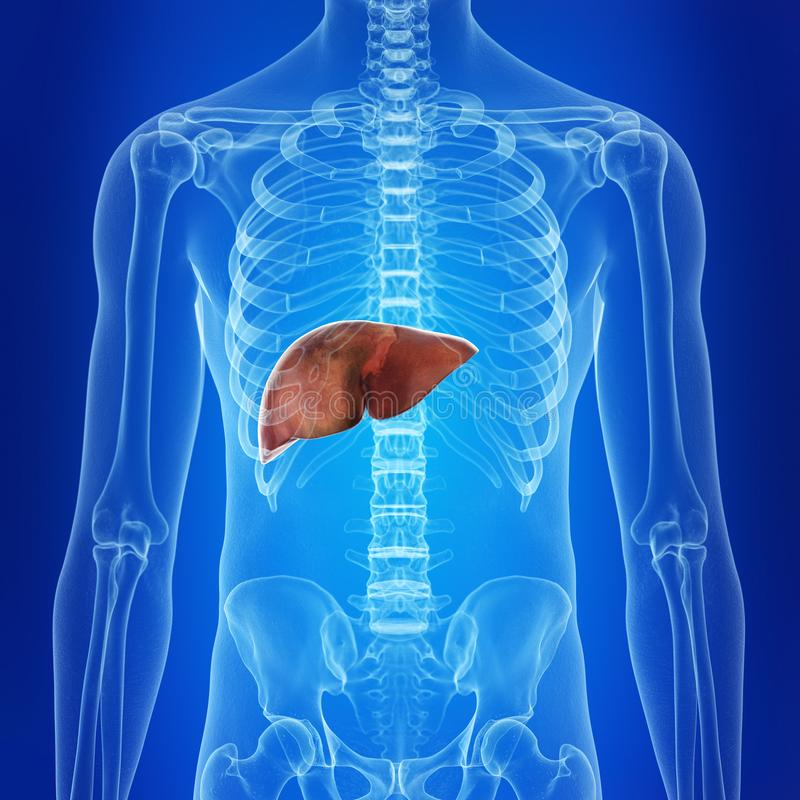 The human liver. Medically accurate illustration of the human liver royalty free illustration