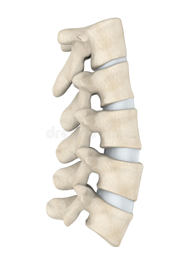 Human Lumbar Spine Anatomy Isolated royalty free illustration