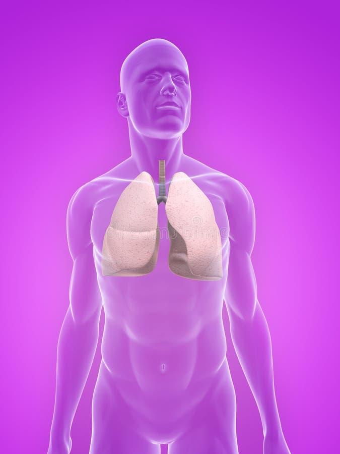 Download Human lung stock illustration. Illustration of medical - 10245484