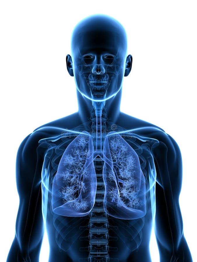 Download Human lung stock illustration. Illustration of lobe, internal - 14409221