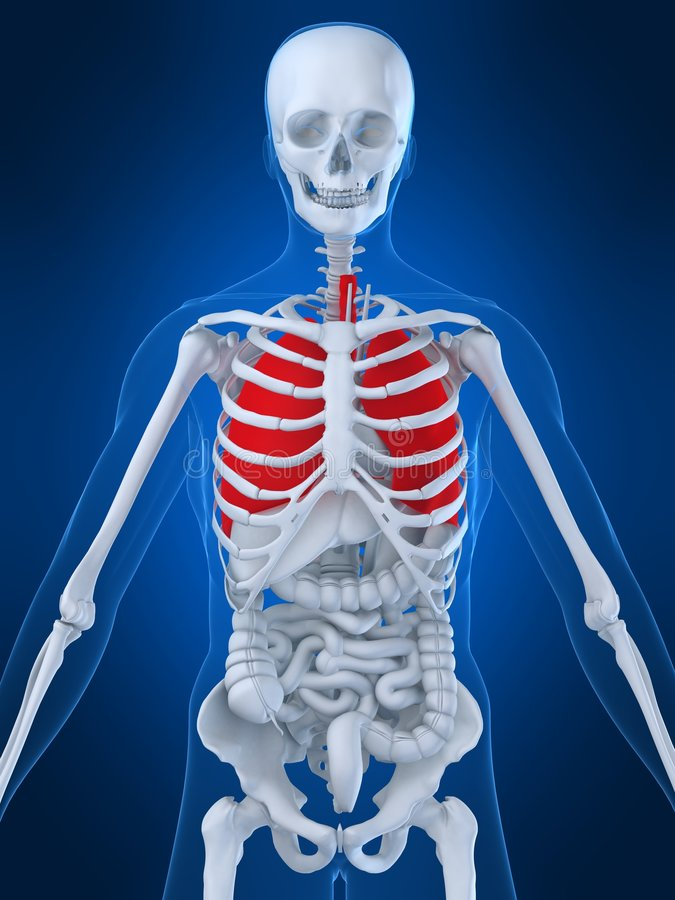 Human lung. 3d rendered anatomy illustration of a human skeleton with highlighted lung vector illustration