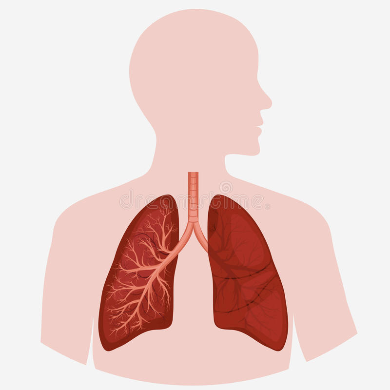 Human Lung anatomy diagram stock photos