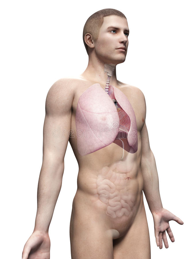 Human lung. Male anatomy illustration - the lung royalty free illustration