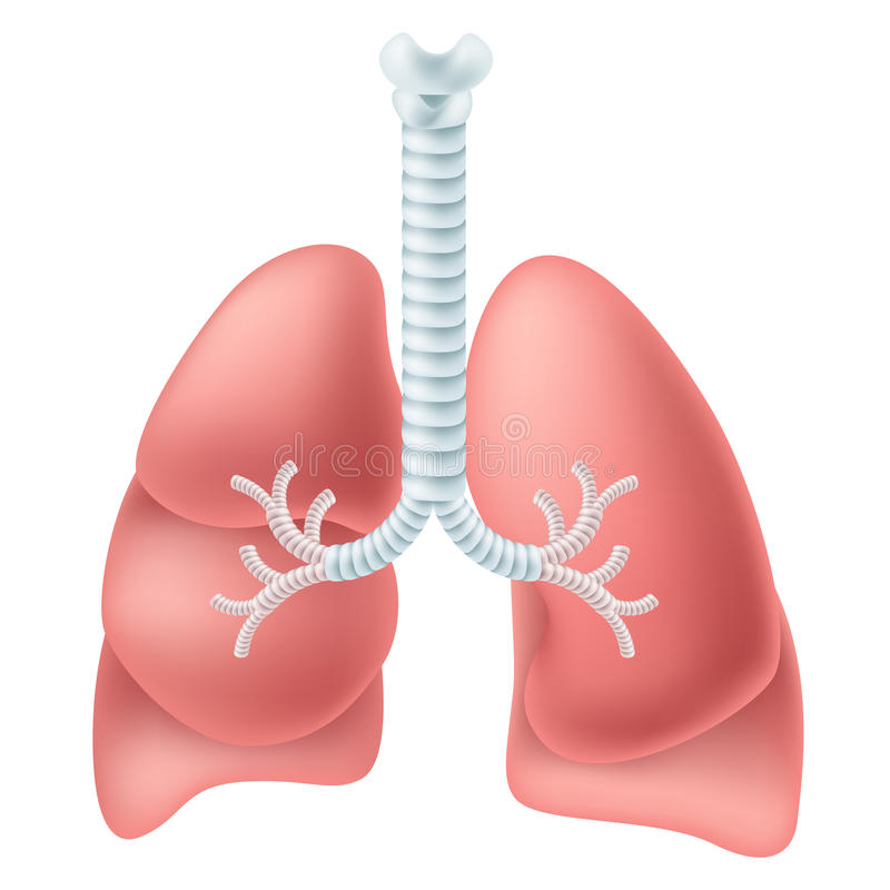 Human lung. With trachea isolated on white royalty free illustration