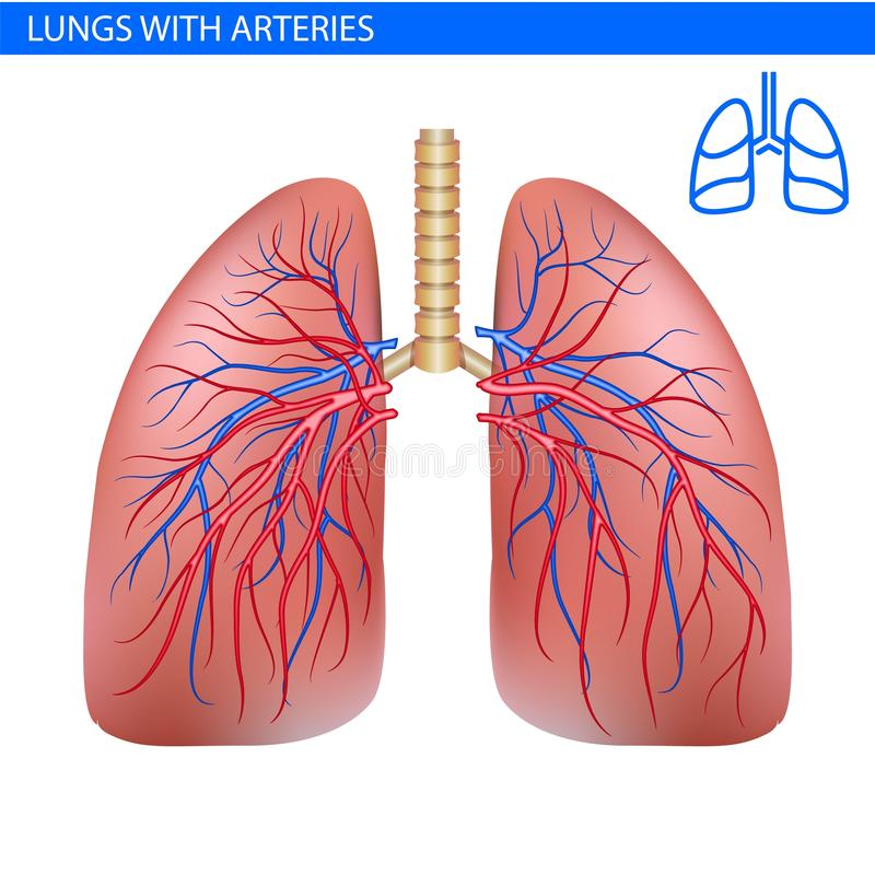 Human Lungs Anatomy With Artery, Circulatory System Realistic ...