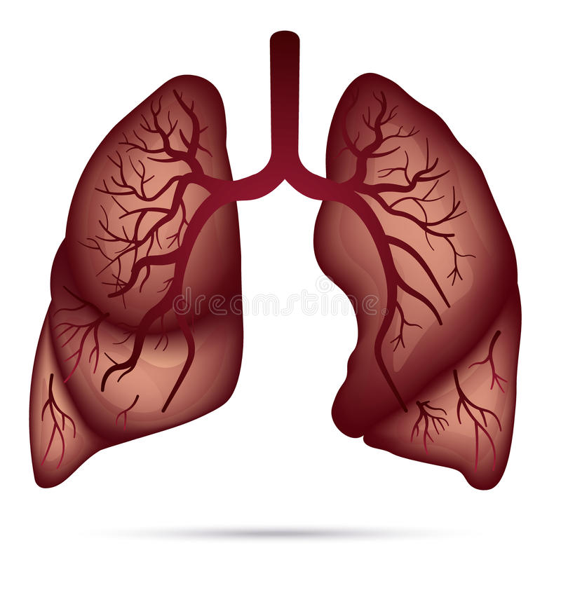 Human Lungs Anatomy For Asthma Tuberculosis Pneumonia Lung Ca